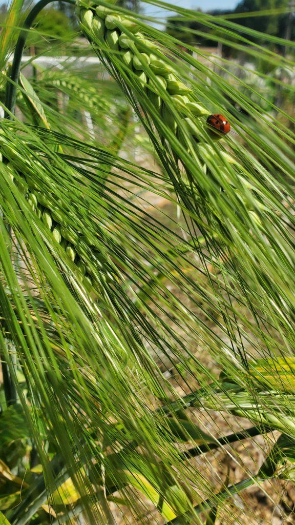 Ladybug on a head of wheat